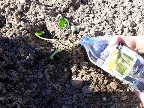 Depois de plantar, regar com a água do depósito.