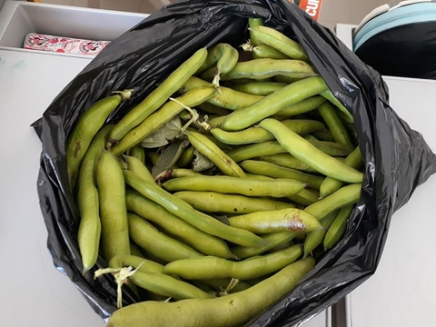 As favas(a foto é só uma parte, pois a horta deu muitas favinhas) entregues a Encarregados de Educação e para o Centro de Dia.