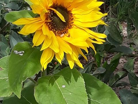 Além de muitas flores em floreiras recicladas, temos um lindo girassol na nossa horta.