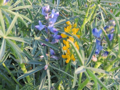 Lupinus luteus L. e Lupinus angustifolius L. e a sua importância.