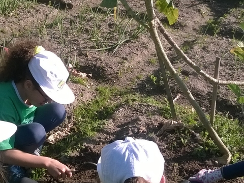 A plantar batatas.