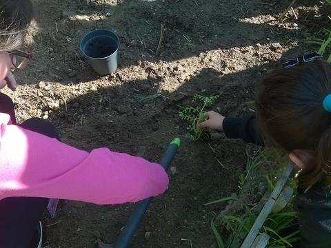 A transplantar o grão de bico semeado num vaso na sala de aula.