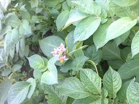 Batata Carolus (muito resistente ao míldio da folha e do tubérculo; apropriada para produção biológica)